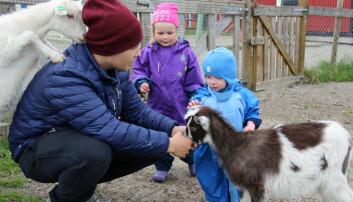 Ungene i lofot-barnehagen har fjøsvakt, plukker poteter og ser sauer blir slakta