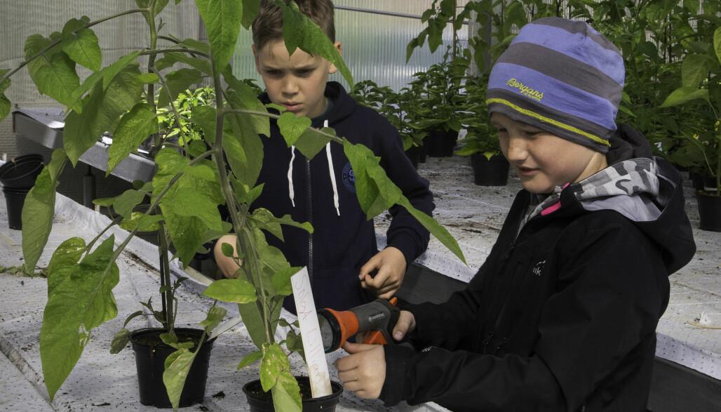 Noah Andreas Sleire og Emil Aas steller godt med tomatene og sørger for at de får vann. Foto: Kari Kløvstad