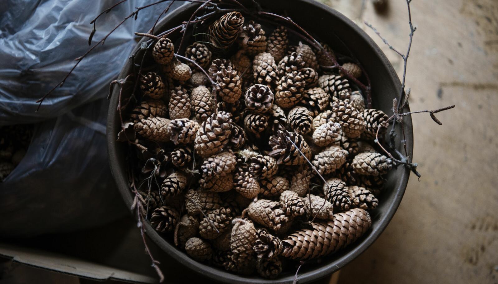 En brun blomsterpotte full av kongler er en av de siste tingene som står igjen i kjelleren i den gamle Hjelmeland barnehage, som nå er revet. FOTO: Marie von Krogh