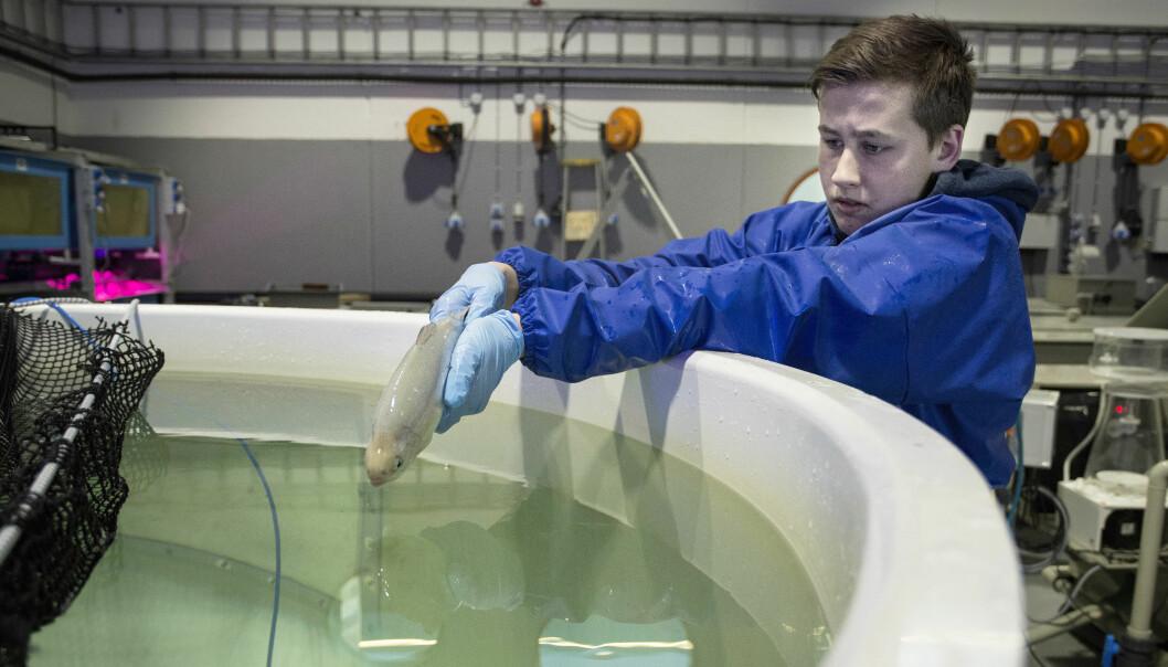 Fisken til Bjarne Henriksen slippes forsiktig i nytt oppdrettskar.