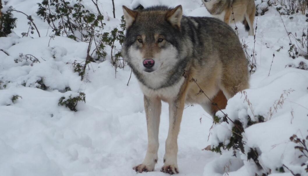 Frykten for ulv må holdes nede, ifølge foreldreutvalget ved Sørskogbygda skole, sjøl om ulv skal være observert nær skolen. Illustrasjonsfoto:
