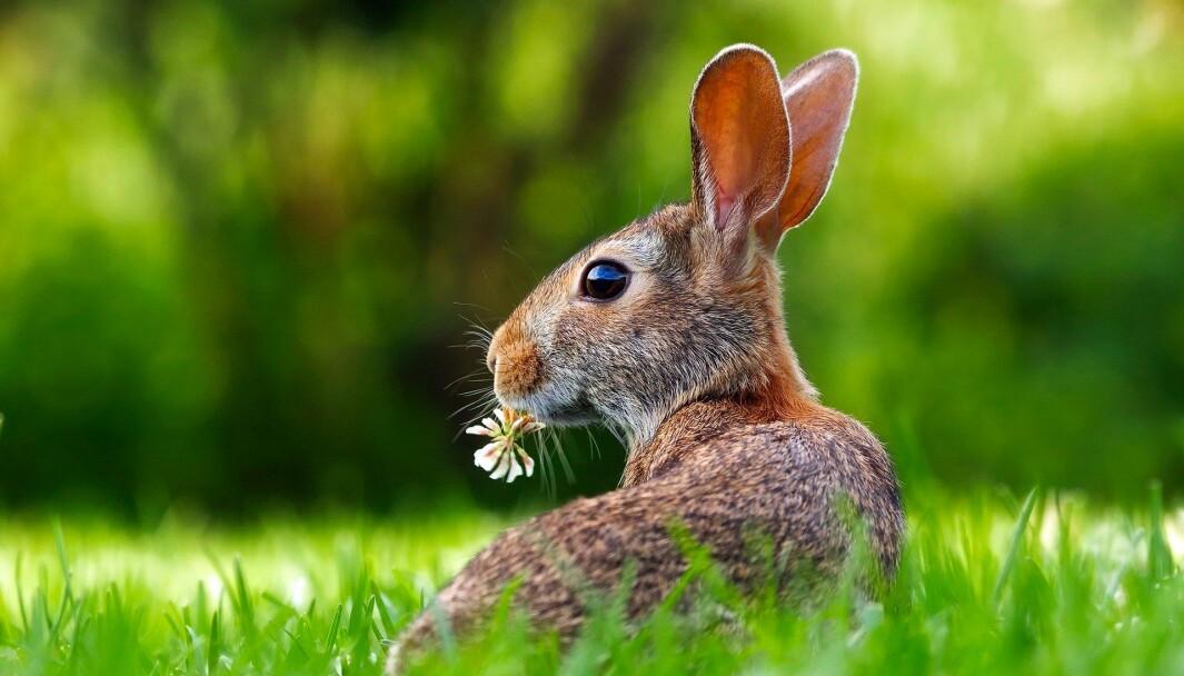 «Rustning? Nei,- du trenger ikke det. Ta på deg kaninørene, lek og gi en klem!»