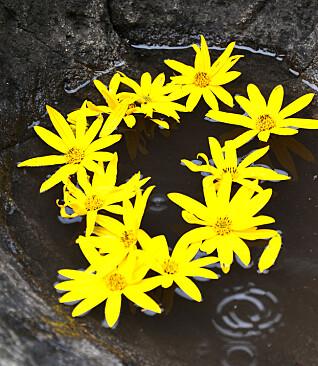 I den  naturlige jettegryta inne på  barnehagens område har barna  pyntet med jordskokkblomster.