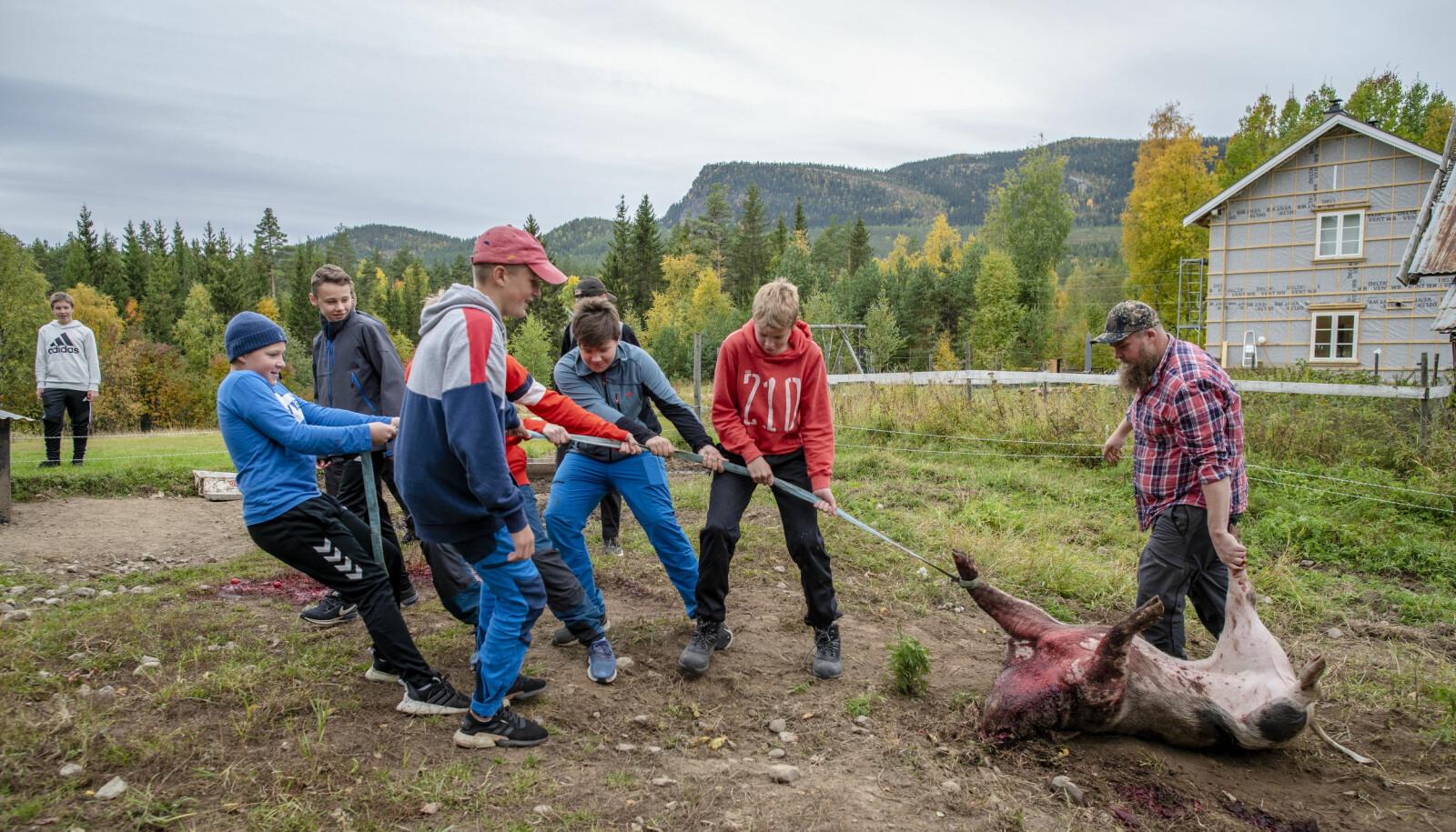 Lærer Ole Eriksen trenger bare å styre kursen når sterke elever sleper 150 kg nyskutt gris til slaktebenken.