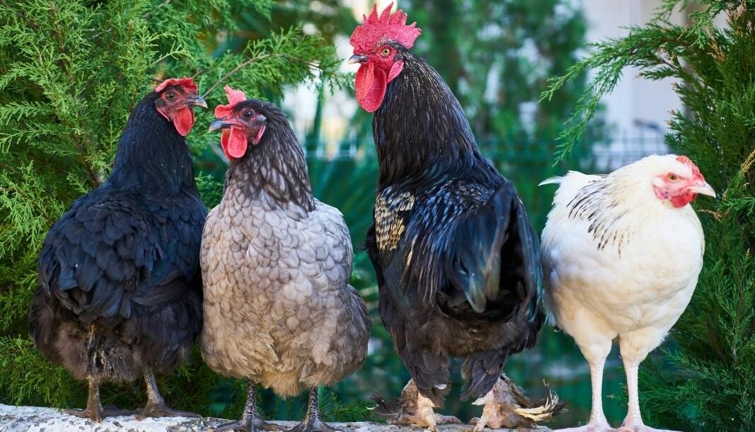 Professor Ingvil Brügger Budal har fleire høner å plukka med Knut Hoem etter hans innlegg om norsklærarar.