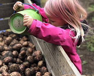 Barna i gårdsbarnehagen høster frukt, bær, grønnsaker og poteter.